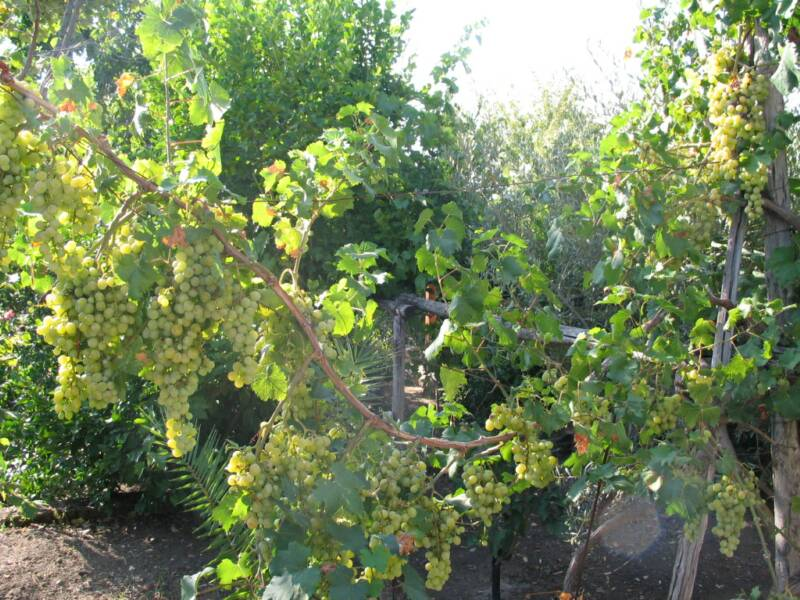 vines, figs and olives are abundant in calabria